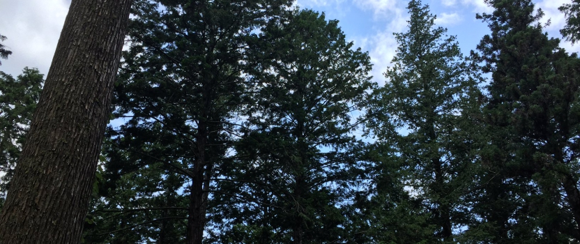 東白川村母樹林に行ってきました